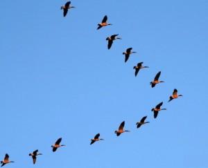 """Kuşların Uçarken """" V """" Oluşturmasının Sebebi Nedir?"""