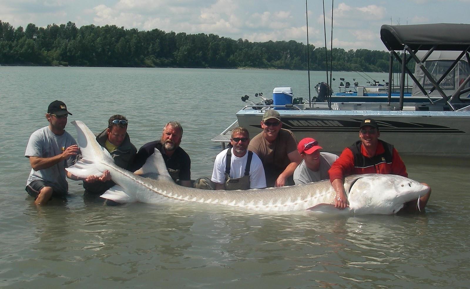 Pesca intorno al mondo leviatani d 39 acqua dolce for Pesci di fiume