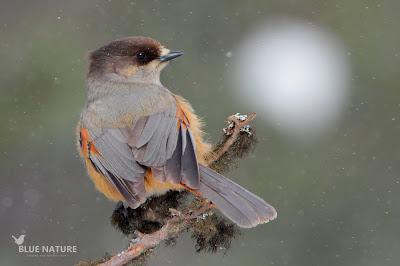 Arrendajo funesto - Siberian jay - Perisoreus infastus. En esta imagen se aprecia con claridad el precioso color de las infracobertoras y las plumas del cuerpo de un naranja intenso que destaca mucho con ese plumaje gris pardo que presenta.