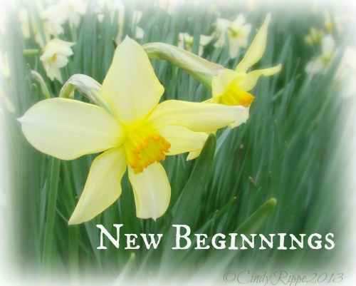 Daffodils at Chicago Botanic Garden, March Flower of the Month, New Beginnings, Cindy Rippe, Florals-Family-Faith