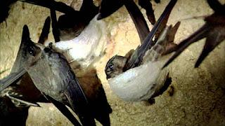 Quần thể chim yến tổ trắng trong nhà nuôi chim yến.