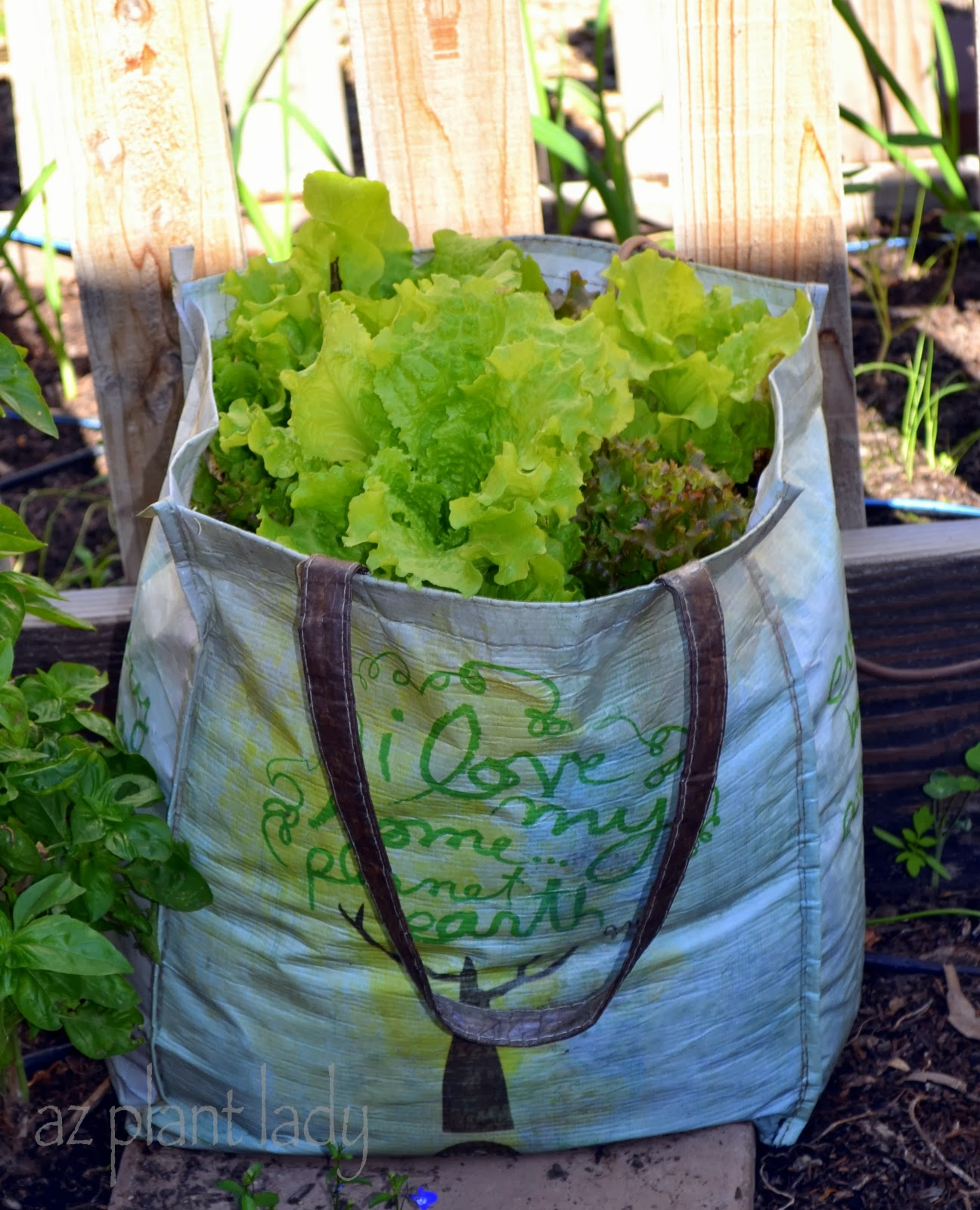 Start Your Own Lettuce Seedlings In Recycled Plastic