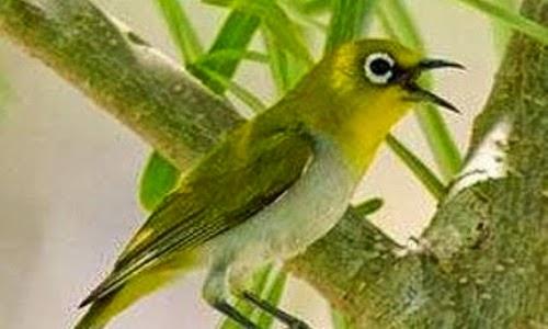 Pleci atau biasa disebut burung kacamata merupakan burung kecil yang lincah Suara Master Untuk Burung Pleci