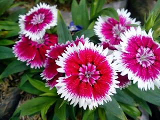 bunga-anyelir-sidoarjo