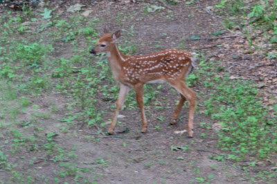 whitetail fawn, mid-June 2015