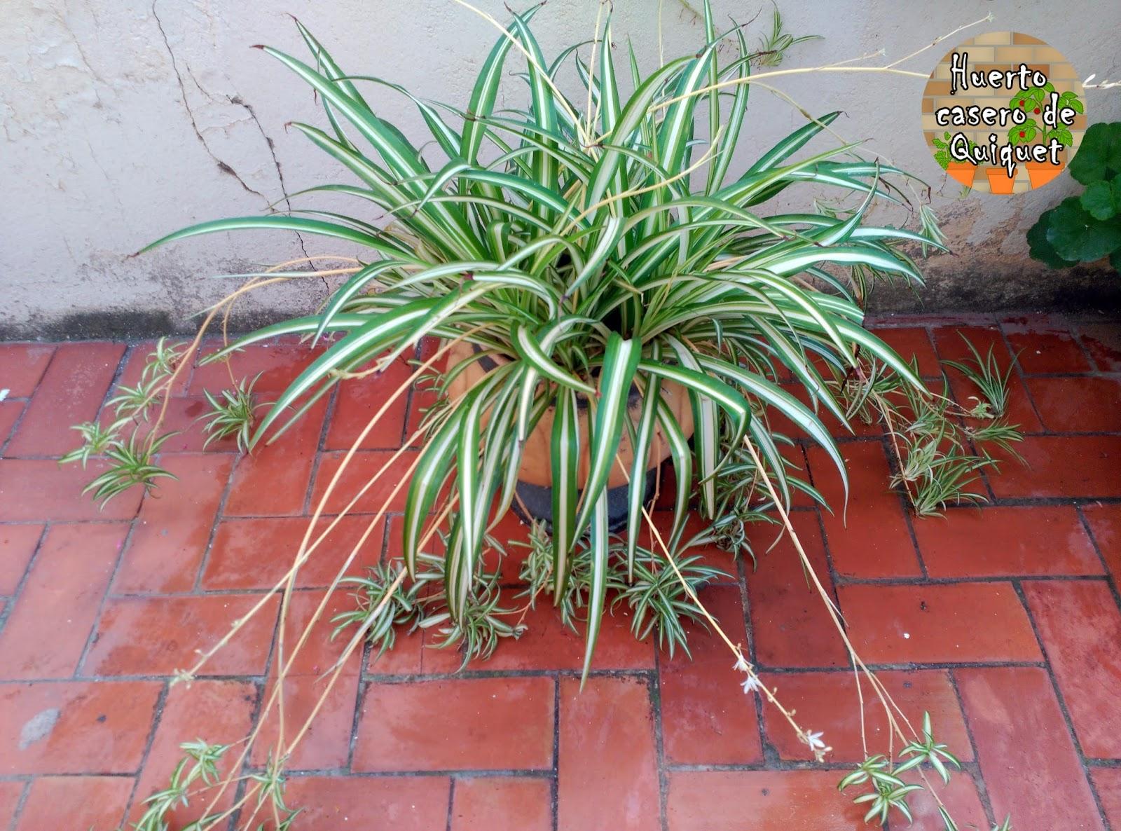 Huerto casero de quiquet planta cintas ara a o - Cinta planta ...