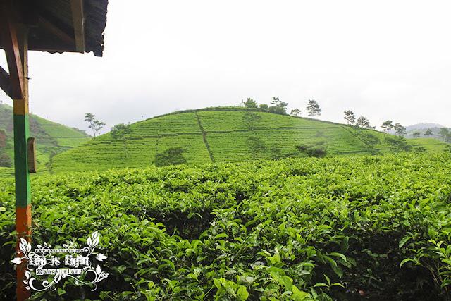 kebun teh jawa tengah