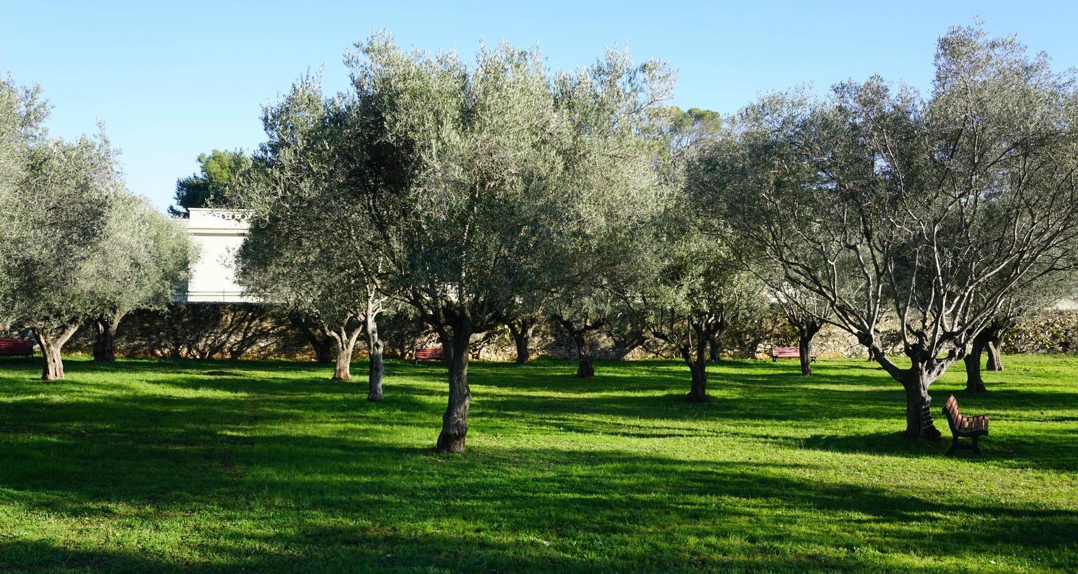 Olive tree garden in Villa EilenRoc