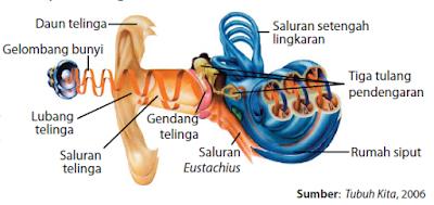 Daun telinga, Lobang Telinga, Rumah Siput, Gendang, Tulang Pendengaran