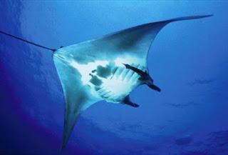 Kebiasaan Ikan Pari Manta Dapat Diamati Menggunakan Satelit  Kebiasaan Ikan Pari Manta Dapat Diamati Menggunakan Satelit