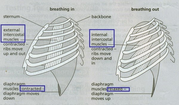 #84 Ventilation, role of intercostal muscles and diaphragm