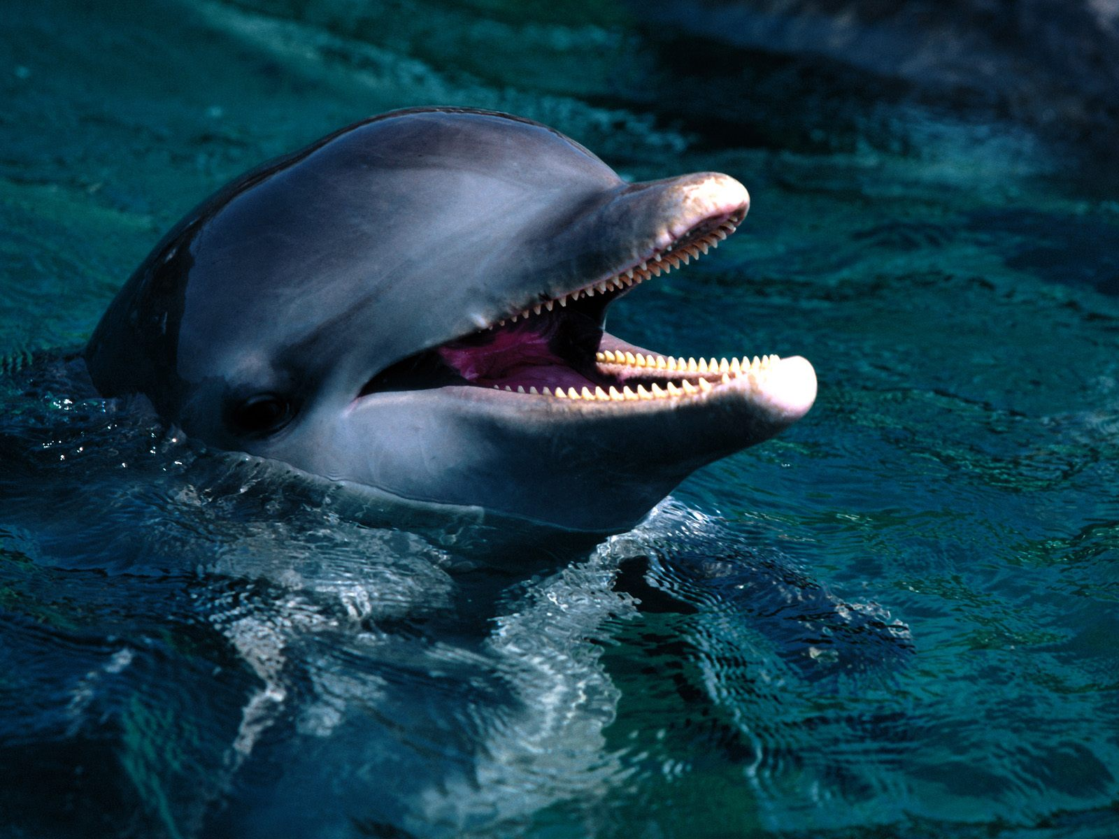 COOL WALLPAPERS: bottlenose dolphins wallpapers