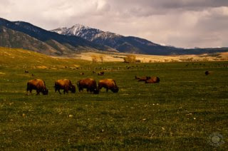 Cramer Imaging's professional quality nature photograph of four buffalo in a field with mountains in Swan Valley, Idaho