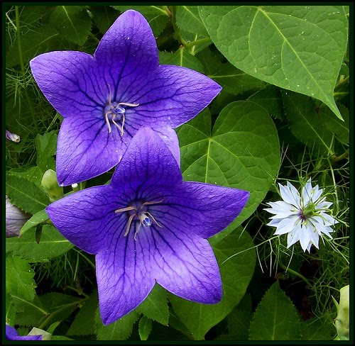 Flower Meanings: BEAUTIFUL FLOWERS: Balloon Flower