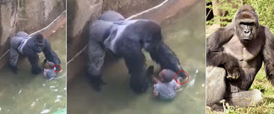 Harambee (silverback gorilla) was shoot to death