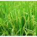 Fakta unik tentang  padi