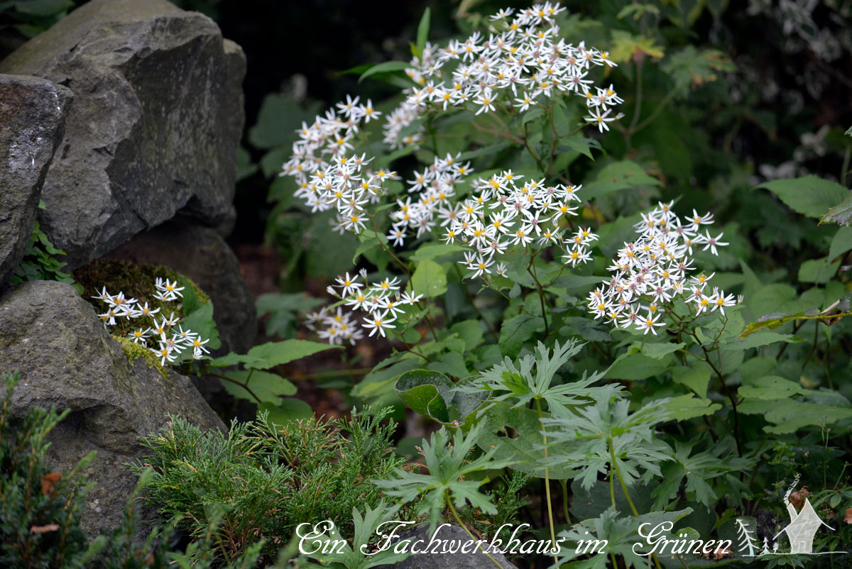 weiße Wald-Aster, Aster divaricatus