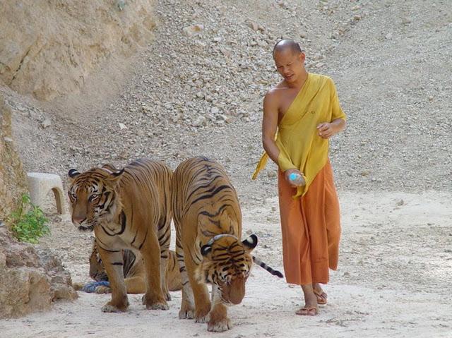 Les tigres 14-02-2011002