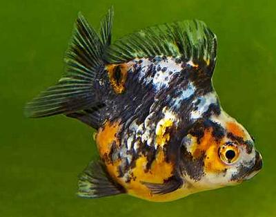 Jenis Ikan Koki Calico