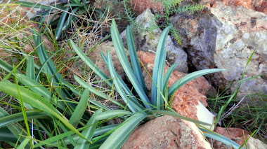 Lapiedra martinezii (narciset valencià) en el Real Jardín Botánico