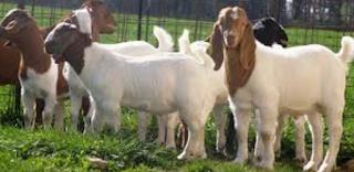 Usaha Ternak kambing memang menjadi perjuangan yang menggiurkan Kabar Terbaru- TERNAK KAMBING UNTUNG 5 JUTA PERBULAN