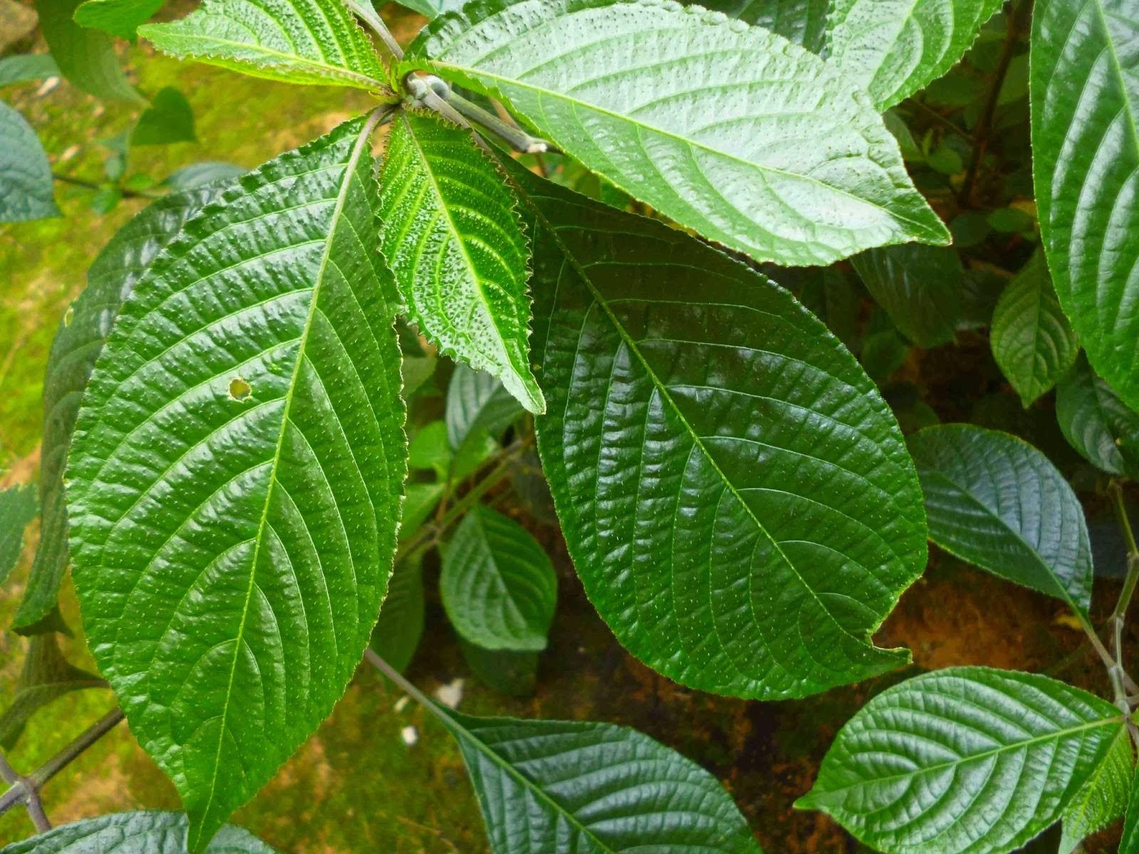 merupakan tanaman yang biasa dijadikan pagar atau pembatas antar kebun di pedesaan Manfaat Daun Keji Beling (Kembang Bugang) Bagi Kesehatan