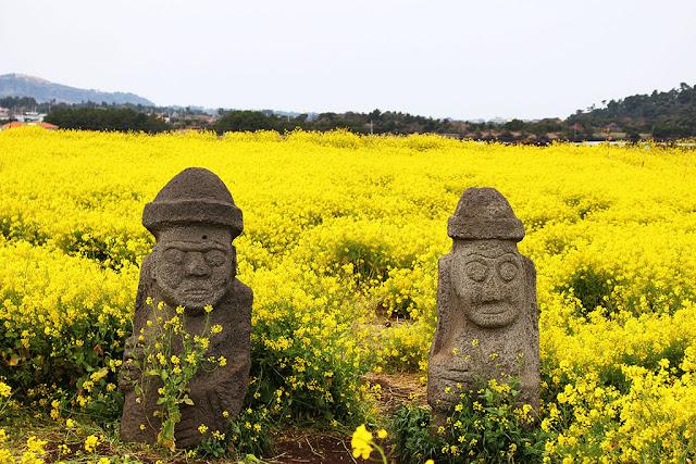 Cánh đồng hoa cải trên Đảo Jeju, Hàn Quốc