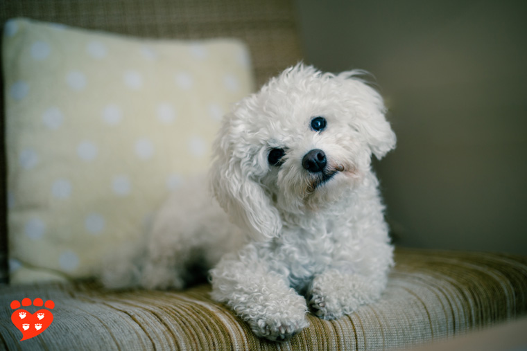 A cute Maltese dog sitting on the settee