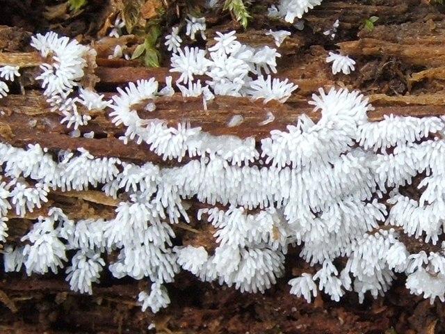 Ceratiomyxa Fruticulosa, Merupakan Contoh dari Filum Myxomycota (Jamur lendir)