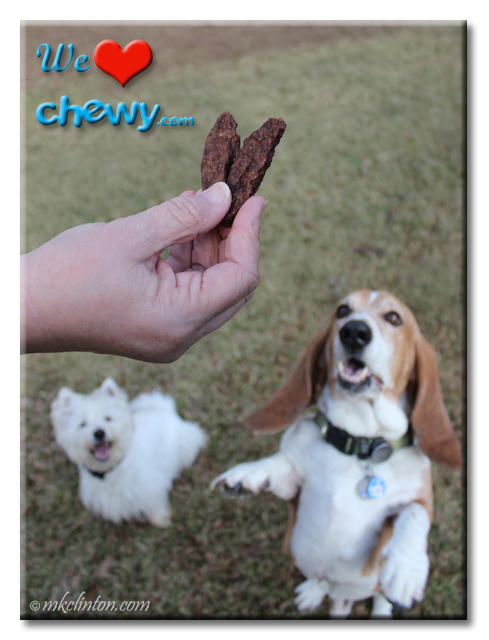 Bentley Basset Hound jumps for treat while Pierre watches.