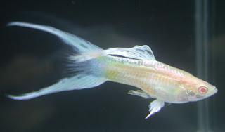 أسماك الطاووس الصينية الرائعة الجمال سبحــــــان الله image02019-746509.jp