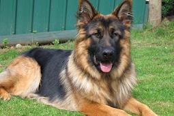Makanan Terbaik Untuk Anjing Herder ( German Shepherd )