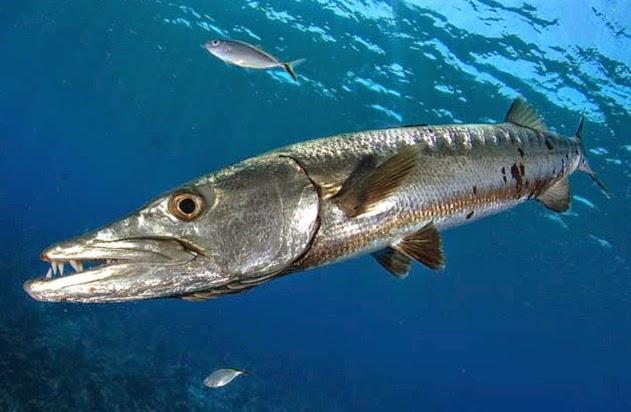 Tekhnik Dan Umpan Jitu Mancing Ikan Alu Alu (Barakuda) Di