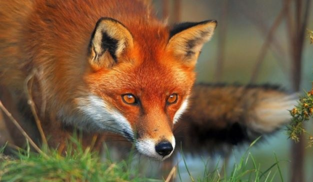 261 red foxes killed in Albania because of virus, or this is a perfect corruption?!
