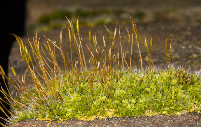 Tortula muralis, Wall Screw-moss.  On a wall on Station Hill, Hayes, 2 March 2016.
