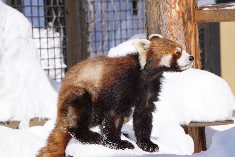雪でも元気いっぱいのレッサーパンダ