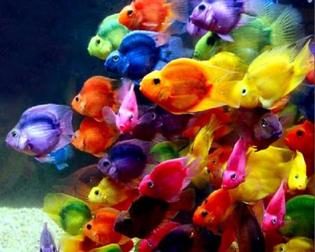 budidaya ikan parrot