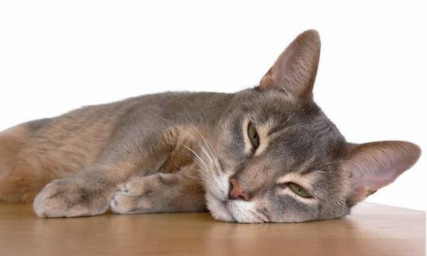First Aid for Cat with Fever