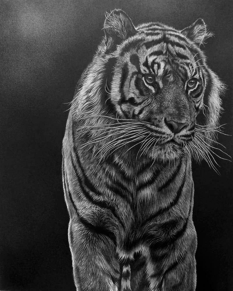 13-Tiger-Stance-Julie-Rhodes-Wildlife-Animals-Realistic-Pencil-Drawings-www-designstack-co