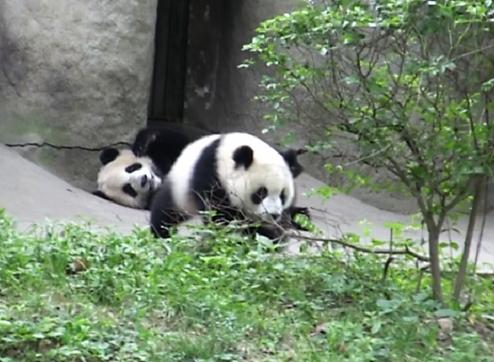 gambar hewan beruang hitam putih - gambar hewan