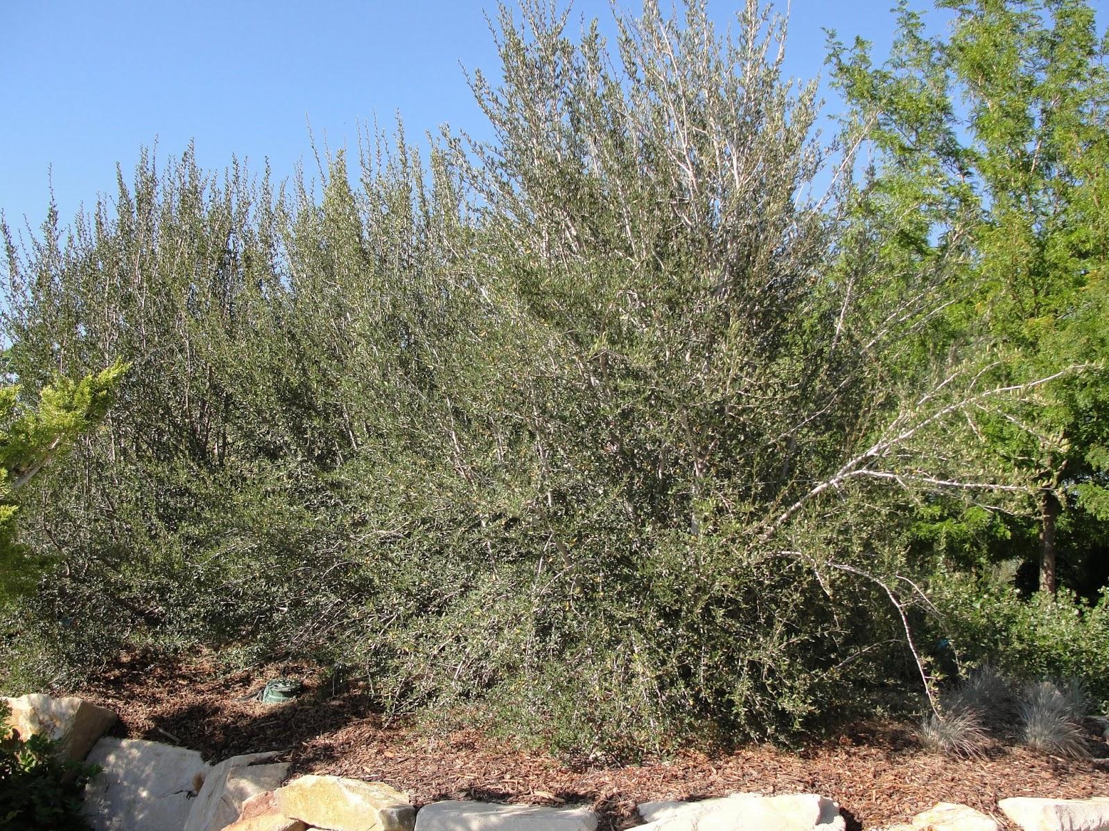 How Much Is 4 Quarts >> availability: Sheperdia argentea Silver Buffaloberry