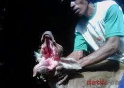 sapi mulut serigala