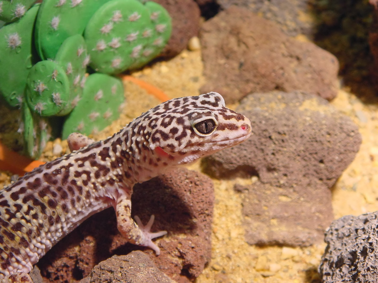 Common leopard gecko