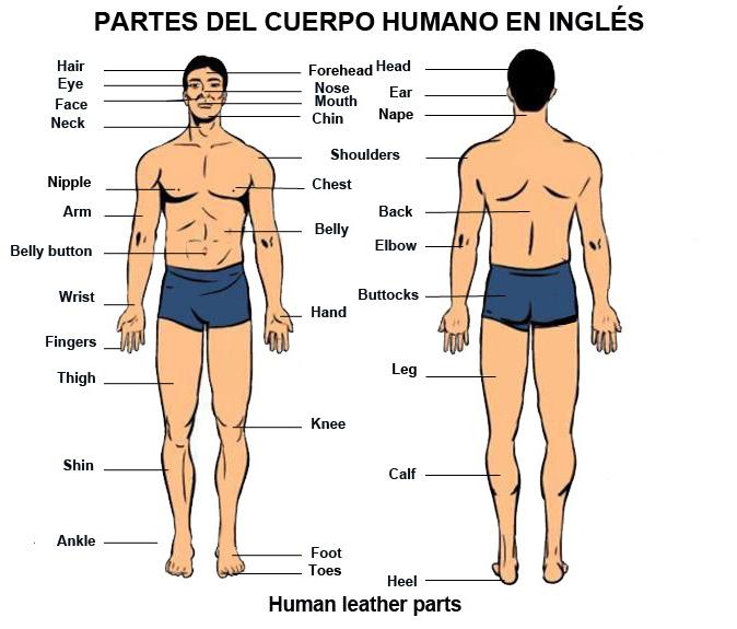 Ingles Basico Para Poder Viajar Partes Del Cuerpo Humano En Inglés