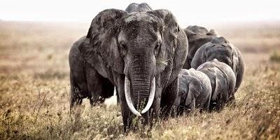 Gajah faham isyarat tangan.