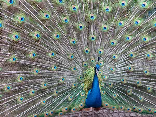Essay on Peacock for Kids and School Students