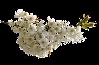 Galho com flores brancas