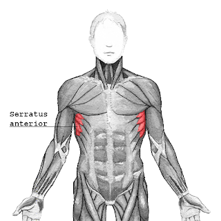 serratus anterior muscle, anatomy, muscle picture