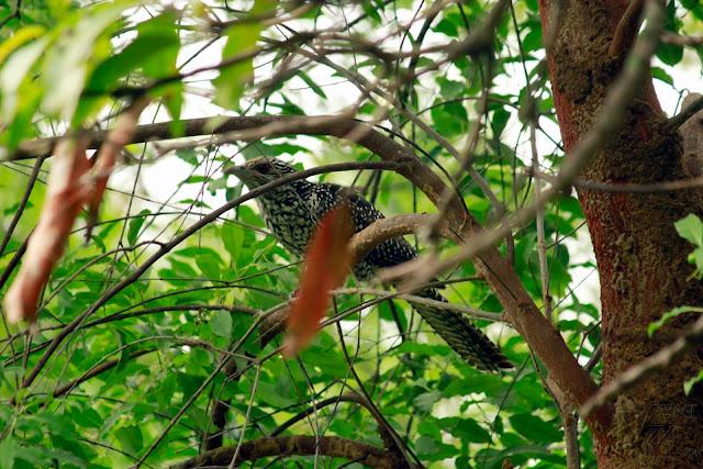 Asian koel Female (39-46cm) - Ranganathittu