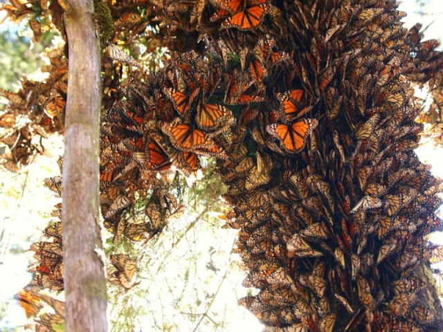 Monarch butterfles: Looking beyond the breeding grounds